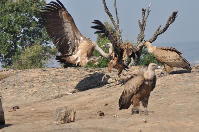 8 vale gier gevecht om voedsel