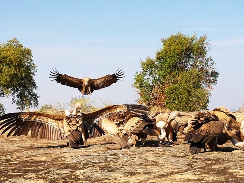 gieren komen op het slachtafval af in Faia Brava 20180522